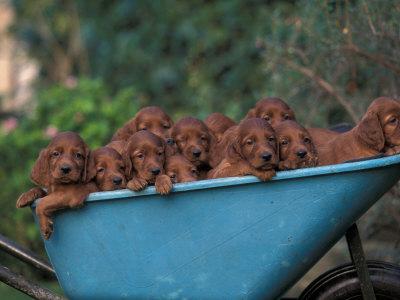 dogs in wheelbarrow