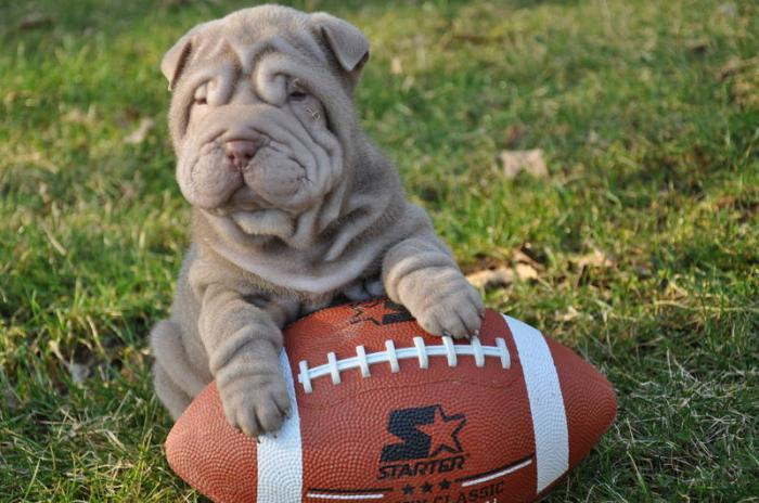 english_bulldog_football