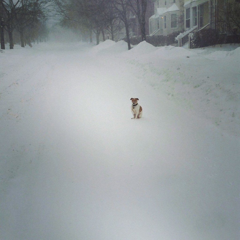 jack russell terrier in blizzard