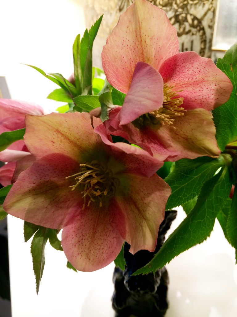 Flower of the  Month On Pinehurst Place March 2015 Hellebore