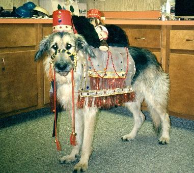 dog camel