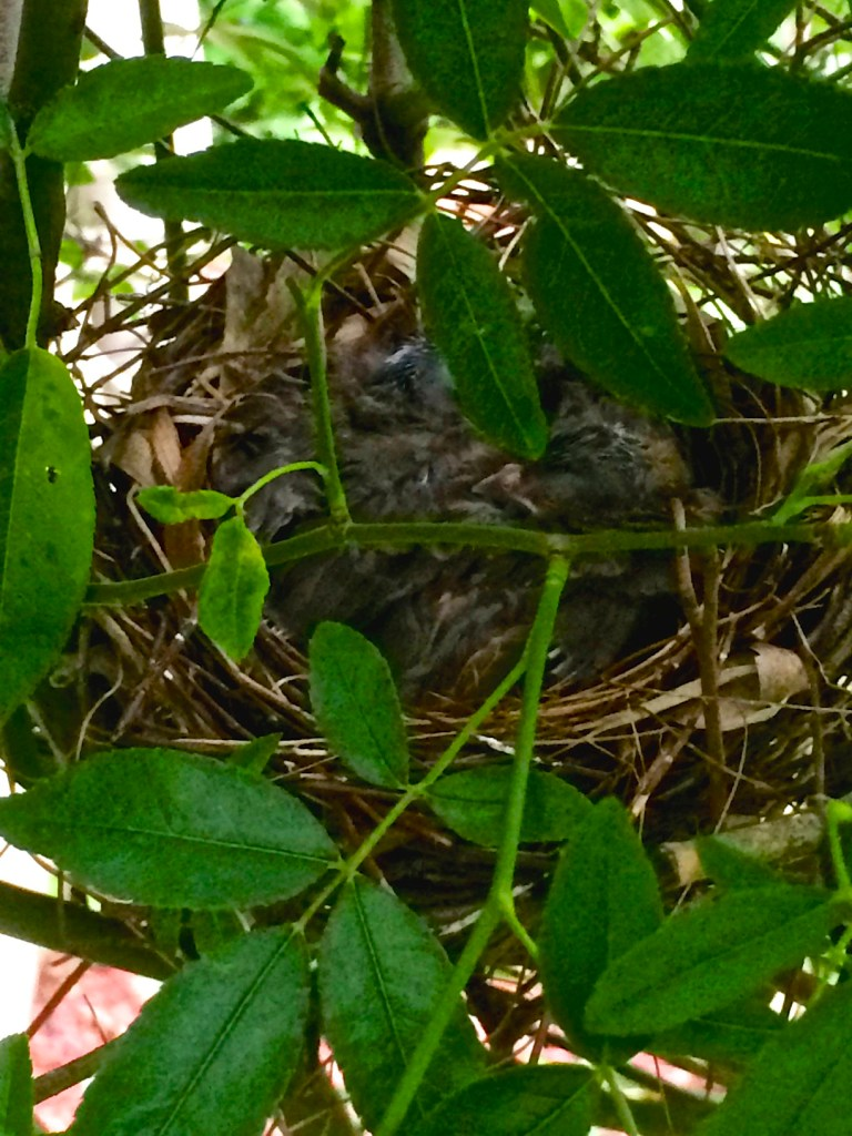 baby birds On Pinehurst Place