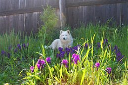 dog with iris