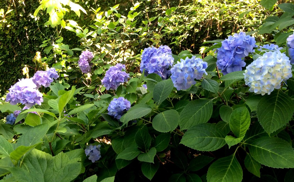 Flower of the month for June The Hydrangea