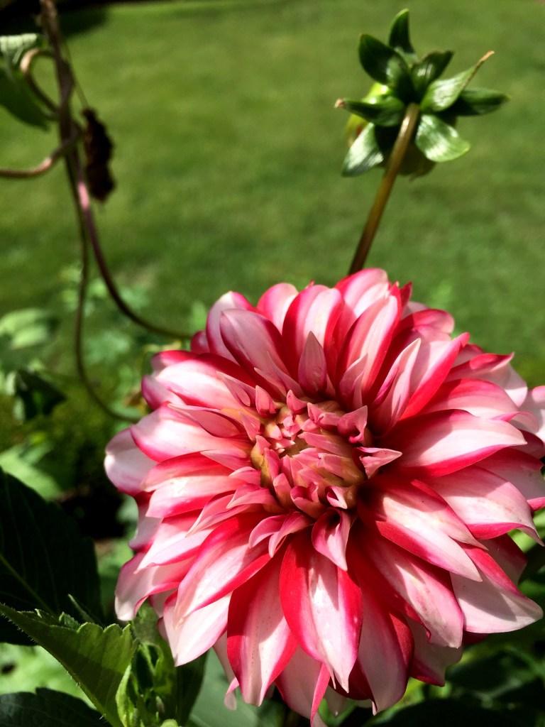 Dahlia in the garden On Pinehurst Place