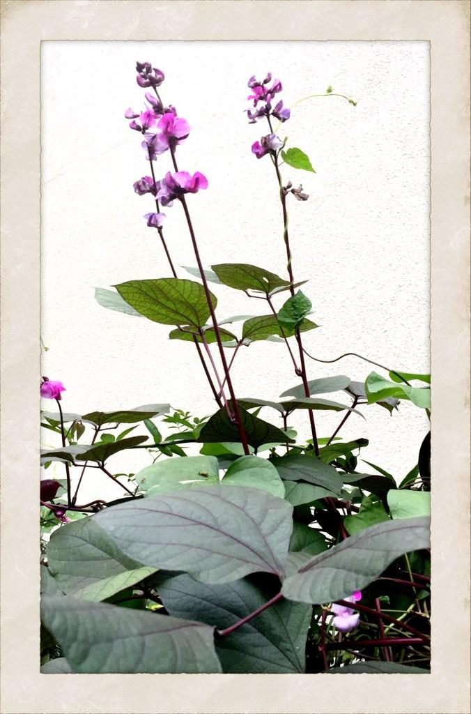 Flower of the month hyacinth bean vine