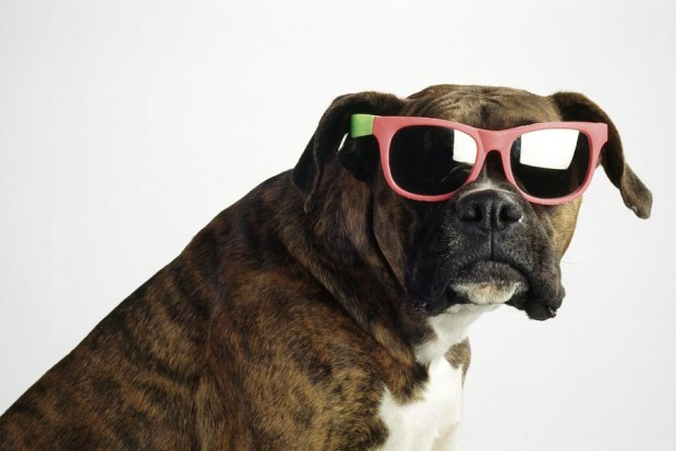 boxer-wearing-sunglasses-ron-nickel-620x414