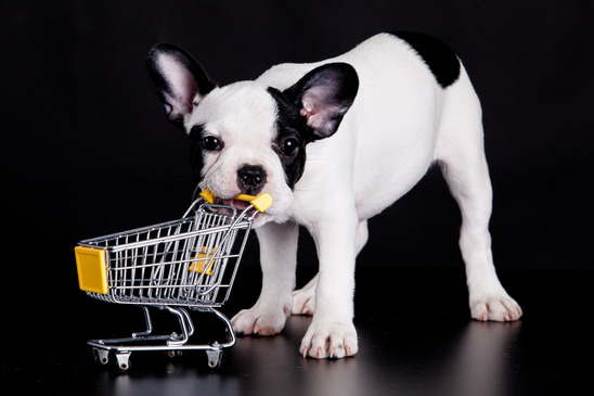 French Bulldog playing with a supermarket cart. Funny little do