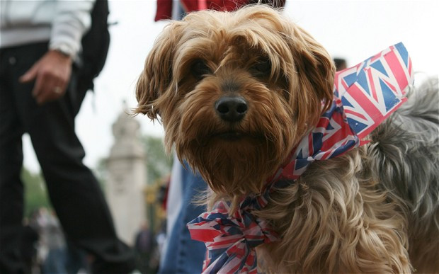C36K9N English dog celebrates the Royal Wedding between Prince William and Kate Middleton at Buckingham Palace in London on 29/04/2011.