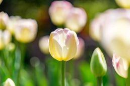 tulip (2 of 6)