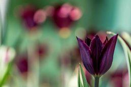 tulip (3 of 6)