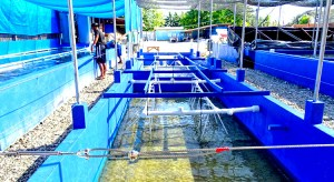 Raceway tanks at the Slinger coral farm in Majuro are growing hard and soft corals as well as clams. Photo: Kelly Lorennij.