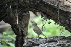 House wren, Ramsey Canyon, Sierra Vista, AZ