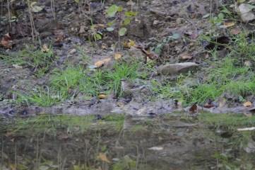 camo-yellow-rumped-warbler-by-marsh