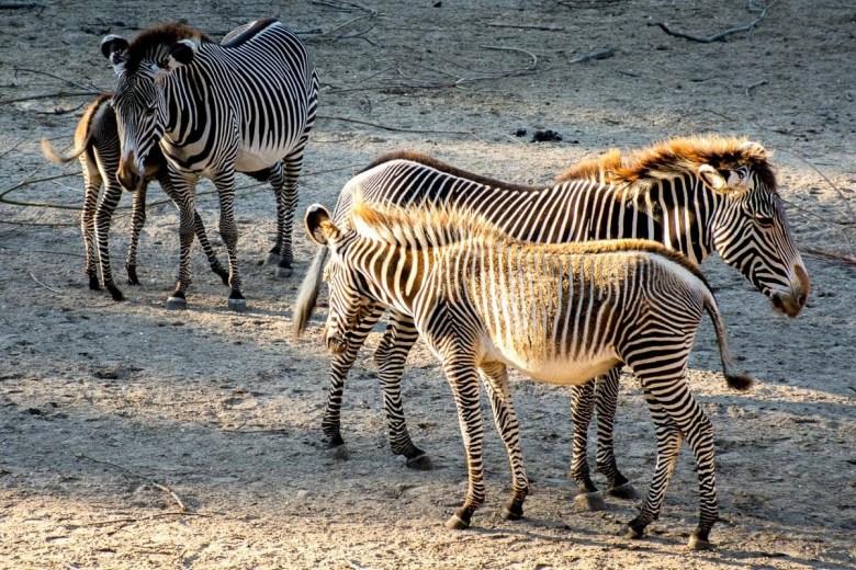 foto-11-zebras_dsc5867