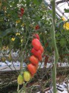 in de tomaten kas