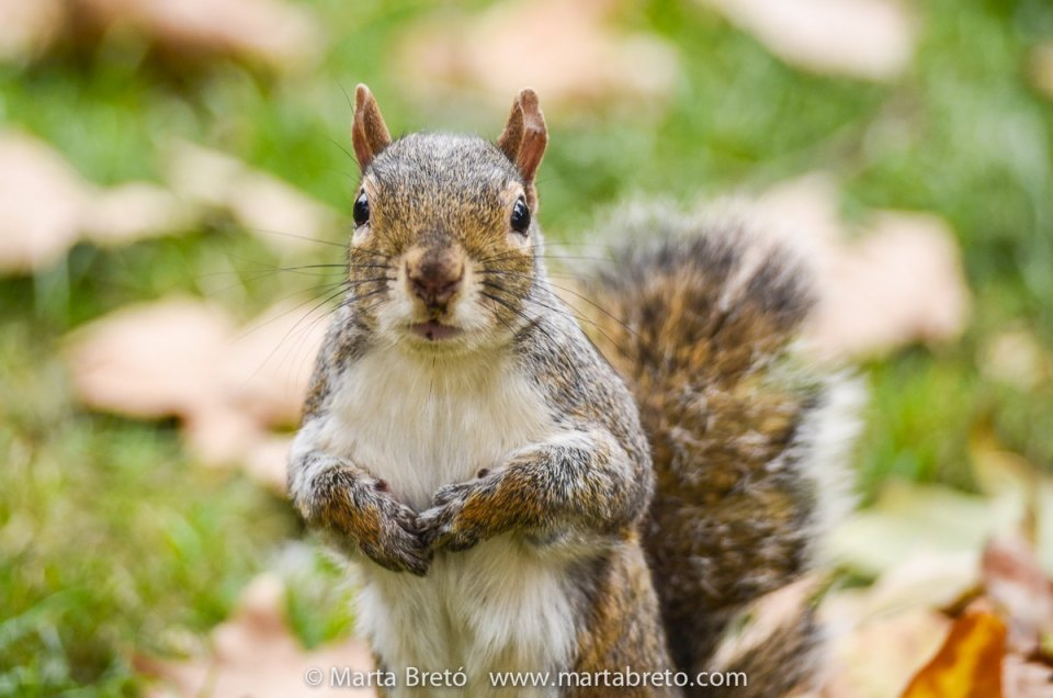 The squirrels of Hyde Park