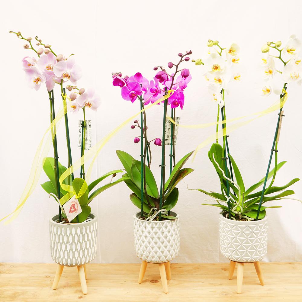 orquidea tres tijes