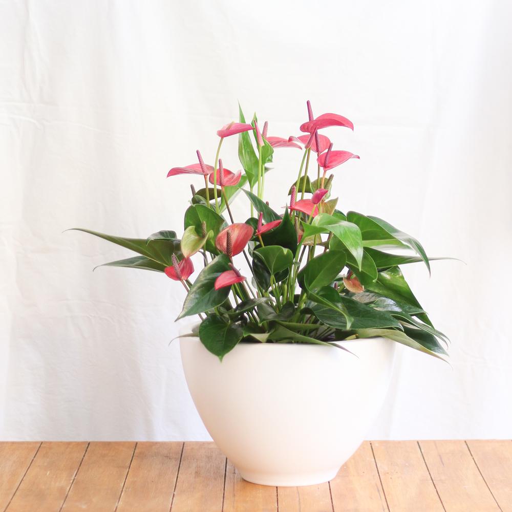 Anturium martamajo flors