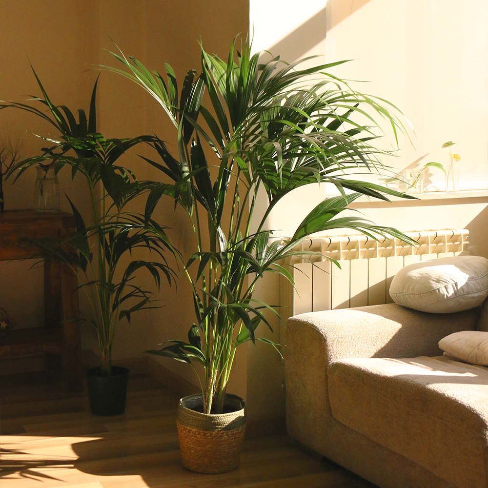 kentia planta natural decoración casa home floristeria Martamajo Flors