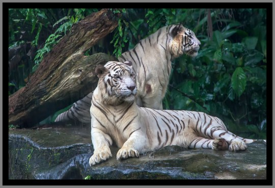 singa zoo