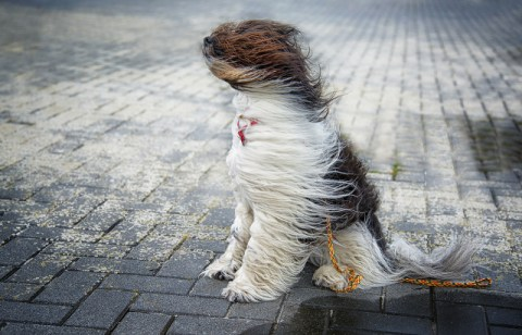 "Image of a dog with hair blowing in the wind. Used as an illustration of ""it's blowing a hooley"" - strong gale winds."