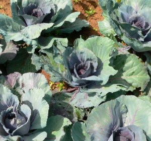 Purple cabbage does better in the cool spring weather than in withering heat.