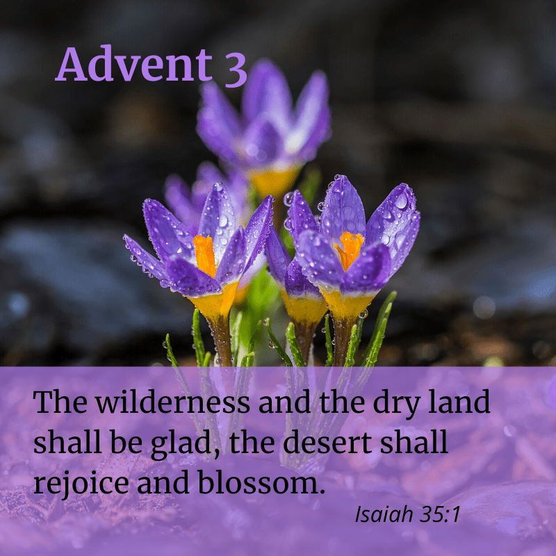"Purple and orange crocuses bloom from dry leaves. The text is ""Advent 3. The wilderness and the dry land shall be glad, the desert shall rejoice and blossom. Isaiah 35:1"""