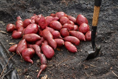 Red Sweet Potato Slips