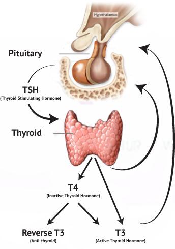 vad är thyroid