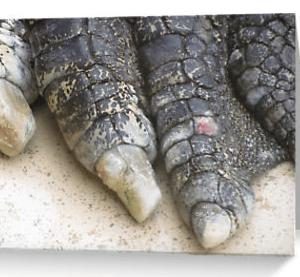 Crocodile toes