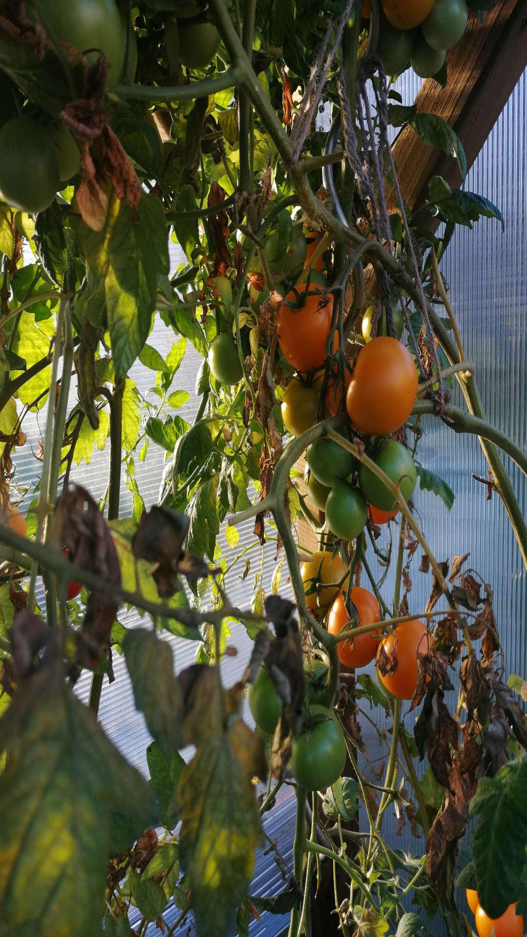 Kraut- und Braunfäule bei Tomaten