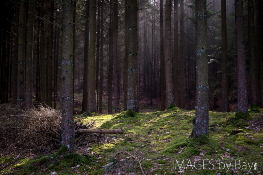 Image of Pine Forest