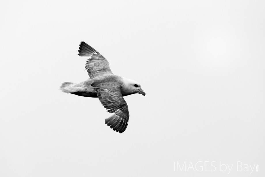 Image of fulmar
