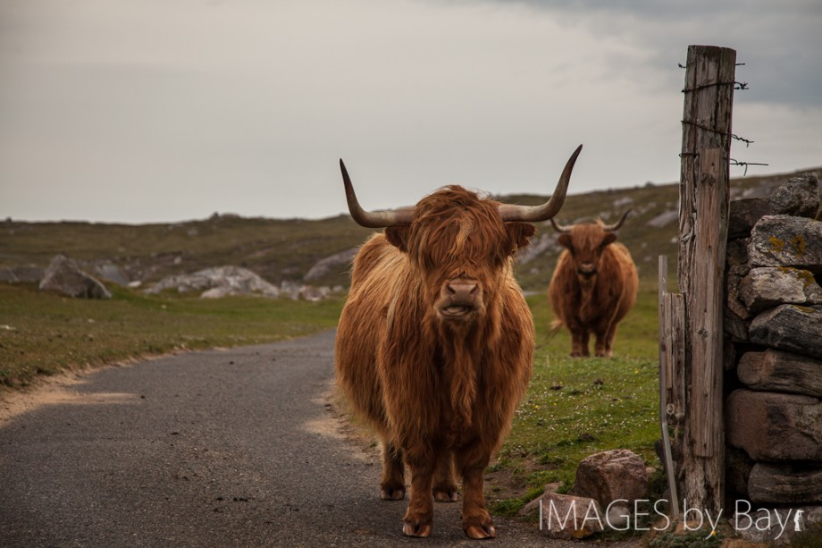 Image of Highland Cows