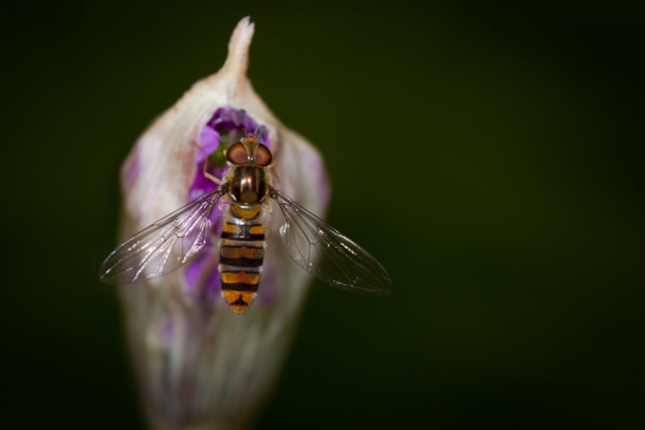Image of Hover Fly