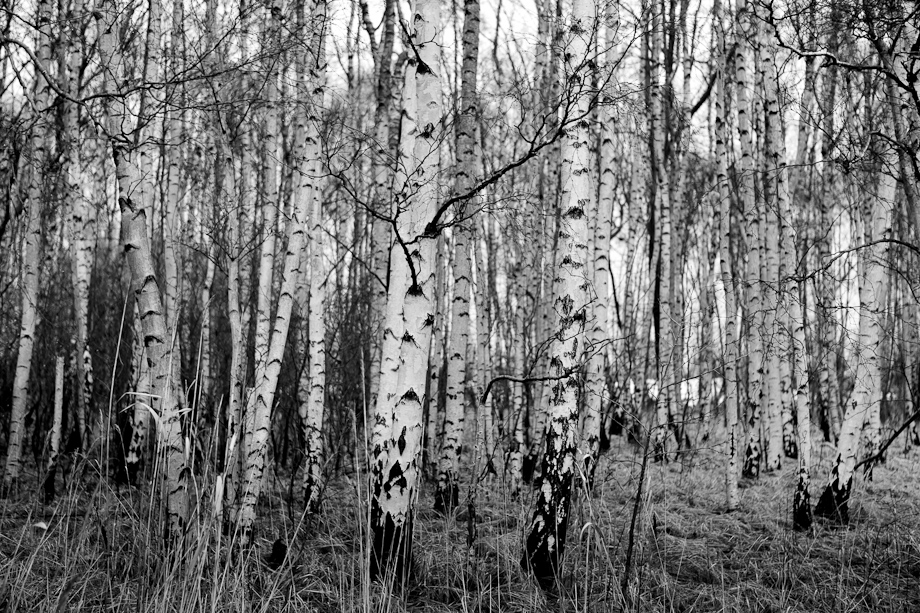 Natural Black & White Birch Trees