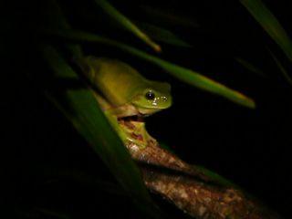 Green Frog at Duranbah