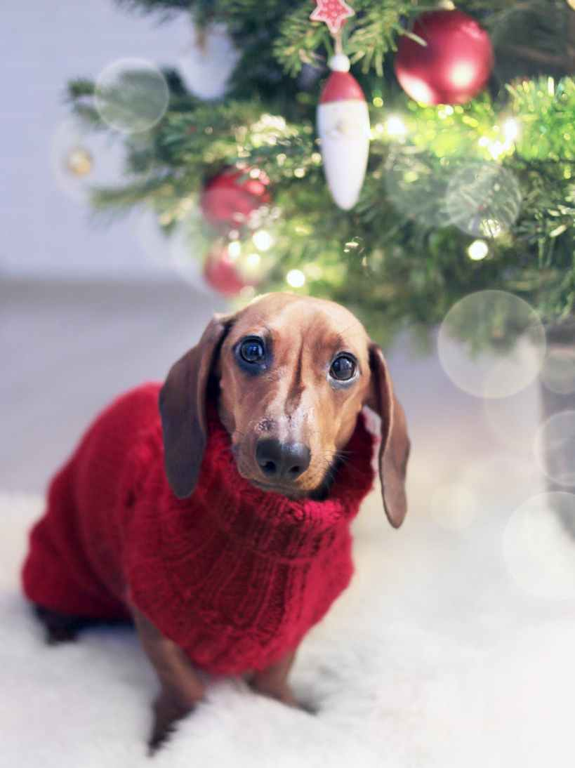 dachshund dog wearing a red sweater