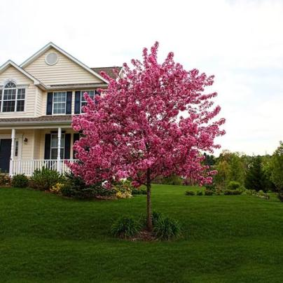 Prairifire_Crabapple_tree_2_FGT_large.jpg