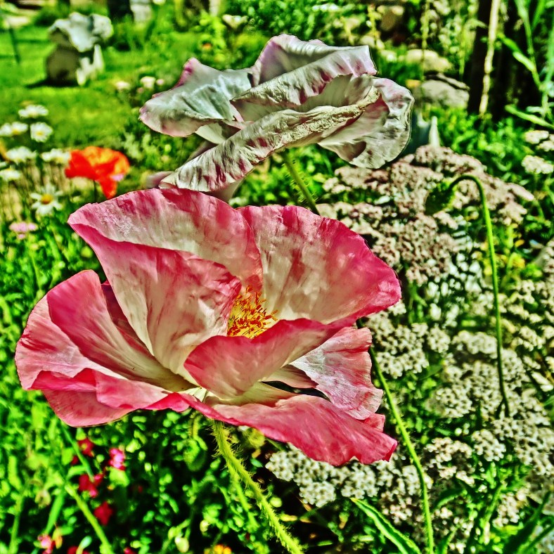 Pink 'n White Teacup Poppy