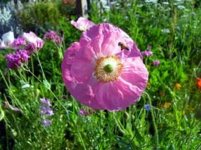 Bright Eyed Poppies Adorn the Sculpture Garden