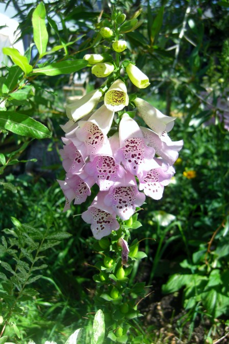 Foxglove, KIng of Flowers, Tower over the Colorado Rock Mountain Sculpture Garden.