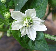 Fleur de capsicum pour les Chilaquiles