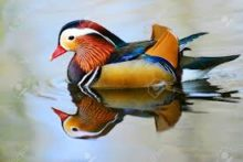 Canard pour Le canard salé froid de Nanjing