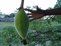 baobab-fruit-in-tree-w-hand-2