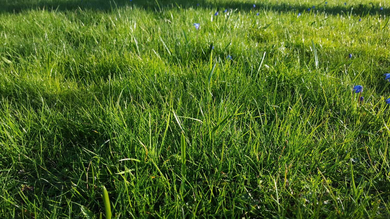 Klippa gräsmattan i april?