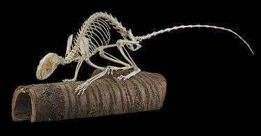 Stenmård, skelett