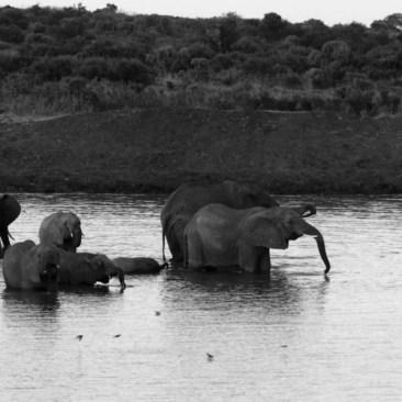elefanti dello tsavo in bianco e nero