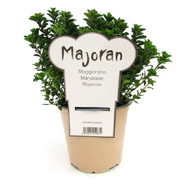 Майоран в горшке Marttos, Горшок пластиковый 300 г., Италия